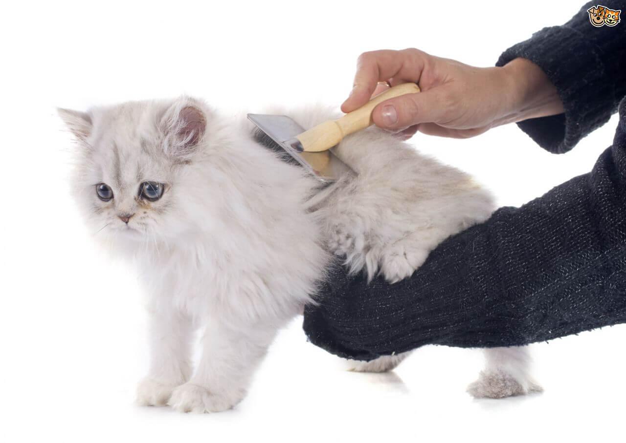 Rajin Sisir Bulu Kucing