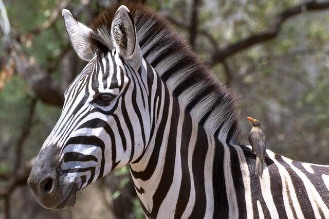 gambar Burung Oxpecker Dan Zebra
