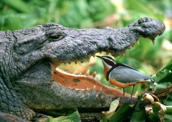 Contoh Simbiosis Mutualisme Antara Buaya Dan Burung Plover